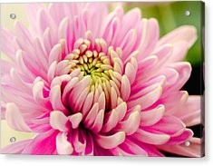Pink Passion Acrylic Print by Dennis Baswell