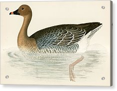 Pink Footed Goose Acrylic Print by Beverley R Morris
