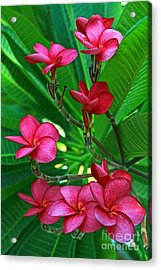 Acrylic Print featuring the photograph Pink Frangiapani - Plumeria by Larry Nieland