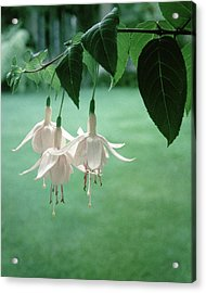 Pink Fuchsia 'flying Cloud' Acrylic Print by Ralph Bailey