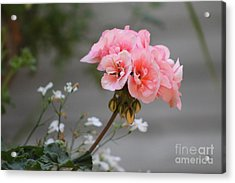 Pink Geranium Acrylic Print by Leone Lund