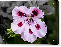 Pink Geranium Acrylic Print by Photographic Art by Russel Ray Photos