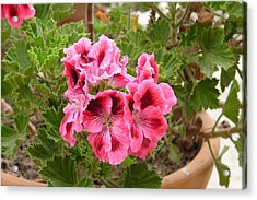 Acrylic Print featuring the photograph Pink Geraniums by Lew Davis