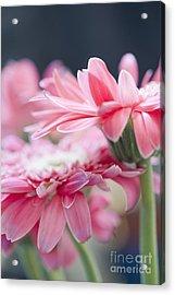 Pink Gerber Daisy - Awakening Acrylic Print