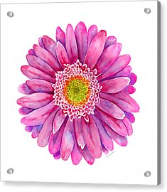 Pink Gerbera Daisy Acrylic Print by Amy Kirkpatrick
