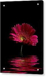 Pink Gerbera Flood 1 Acrylic Print by Steve Purnell