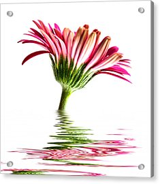 Pink Gerbera Flood 2 Acrylic Print by Steve Purnell
