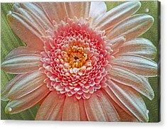 Pink Gerbera Textured Acrylic Print