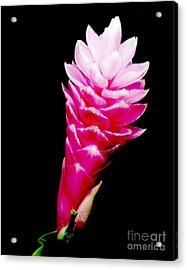 Pink Ginger Lilly Acrylic Print