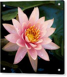 Pink Hawaii Water Lily Acrylic Print