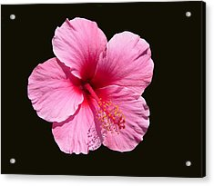 Pink Hibiscus Blossom Acrylic Print
