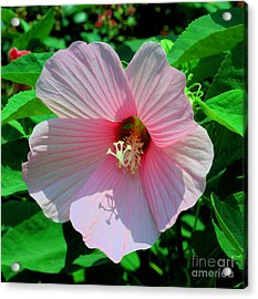 Pink Hibiscus Acrylic Print by Luther Fine Art