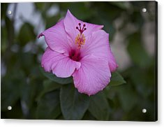 Pink Hibiscus Acrylic Print by Terry Horstman