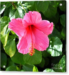 Pink Hibiscus With Large Stamen Acrylic Print by Jay Milo