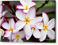 Pink Highlighted Plumeria Acrylic Print by Thanh Tran