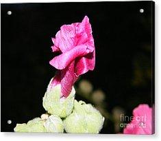 Pink Hollyhock  Acrylic Print