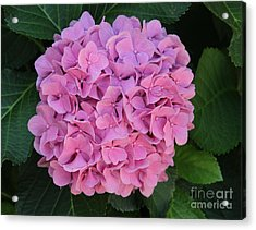 Pink Hydrangea All Profits Benefit Hospice Of The Calumet Area Acrylic Print
