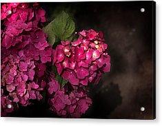 Pink Hydrangea Flowers In A Garden Acrylic Print