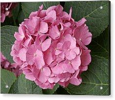 Pink Hydrangea Acrylic Print by Sandy Molinaro