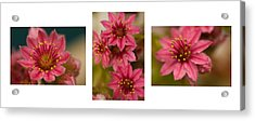 Pink Joy Acrylic Print by Trevor Chriss