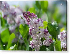 Pink Lilacs And Green Leaves - Featured 3 Acrylic Print by Alexander Senin