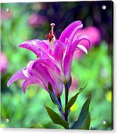 Pink Lilies Acrylic Print by Deena Stoddard