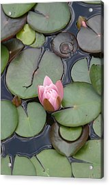 Pink Lilly Acrylic Print by Dervent Wiltshire