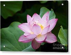 Pink Lotus Flower Acrylic Print by Oscar Gutierrez