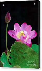 Acrylic Print featuring the photograph Pink Lotus Flowers by Eva Kaufman