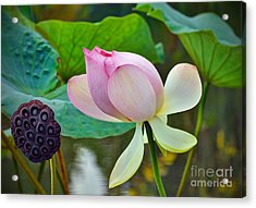 Pink Lotus Acrylic Print by Savannah Gibbs
