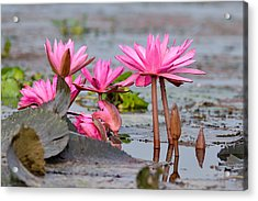 Pink Lotuses Acrylic Print by Fotosas Photography
