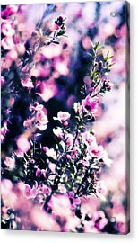 Pink Manuka Flowers Acrylic Print by motography aka Phil Clark