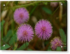 Pink Mimosa Acrylic Print by Kim Pate