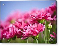 Pink Mums Acrylic Print by Elena Elisseeva