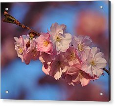 Pink On Bleu Acrylic Print by Paul Noble