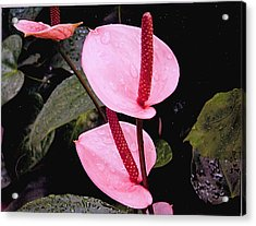 Pink On Pink With Dew Acrylic Print