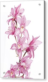 Pink Orchid Acrylic Print by Boon Mee
