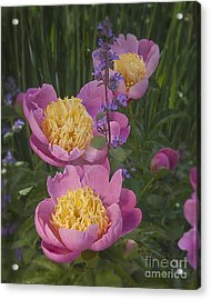 Pink Peonies In My Garden Acrylic Print by Ann Jacobson