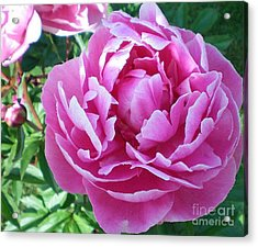 Pink Peony Acrylic Print by Barbara Griffin