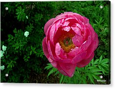 Pink Peony Colchester Vermont Acrylic Print by Mark Holden