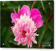 Pink Peony Acrylic Print by Mary Carol Story
