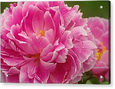 Acrylic Print featuring the photograph Pink Peony by Suzanne Powers