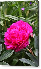Acrylic Print featuring the photograph Pink Peony by Vadim Levin