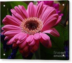 Pink Petal Explosion Acrylic Print
