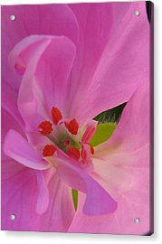Pink Petals II Acrylic Print by Tracy Male