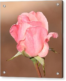 Pink Petals Acrylic Print by Julie Cameron