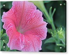 Pink Petunia Acrylic Print by Victoria Sheldon