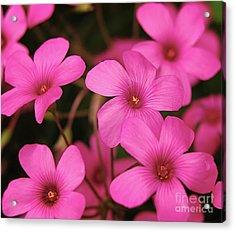 Pink Phlox Acrylic Print