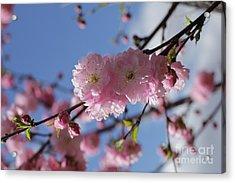 Pink Plum On Sky 2 Acrylic Print