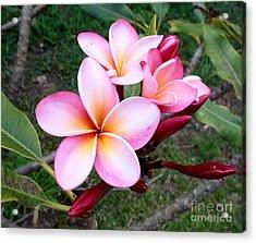 Pink Plumeria Acrylic Print by Mindy Sue Werth